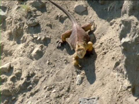 vídeos y material grabado en eventos de stock de an iguana clambers down a volcanic slope. - iguana de los galápagos