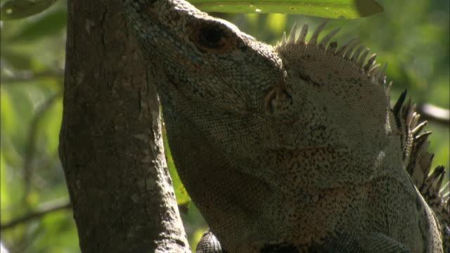 an iguana climbs a tree. - iguana stock videos & royalty-free footage