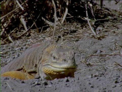 vídeos y material grabado en eventos de stock de an iguana emerges from a burrow and bobs its head. - iguana de los galápagos