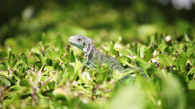 An iguana is seen as the Florida Fish and Wildlife Conservation Commission continues its efforts to try and control the invasive species on March 13...
