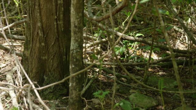stockvideo's en b-roll-footage met an iguana is seen in still - gepunt