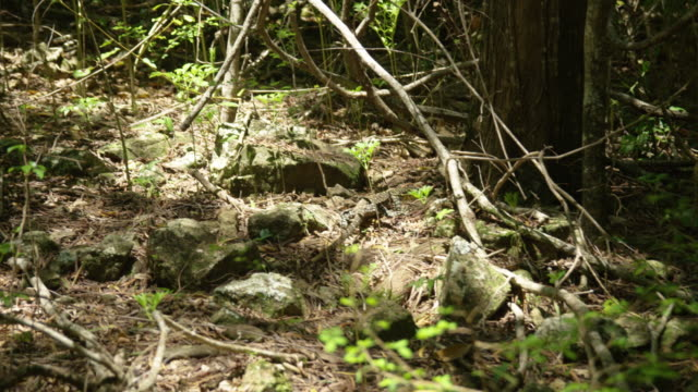 stockvideo's en b-roll-footage met an iguana on its natural habitat - gepunt