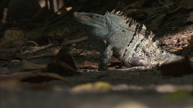 an iguana pauses, seems startled, then crawls away. - iguana stock videos & royalty-free footage