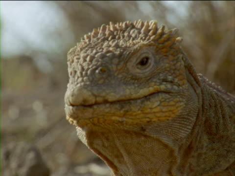 vídeos y material grabado en eventos de stock de an iguana stares and turns its head. - iguana de los galápagos