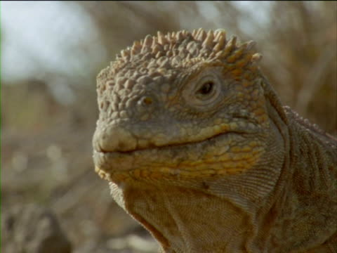 an iguana stares and turns its head. - ガラパゴスリクイグアナ点の映像素材/bロール