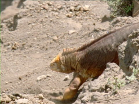 an iguana traverses a volcanic slope, causing rocks to roll down the hill. - galapagos land iguana stock videos & royalty-free footage