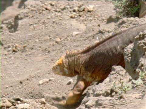 vídeos y material grabado en eventos de stock de an iguana traverses a volcanic slope, causing rocks to roll down the hill. - iguana de los galápagos