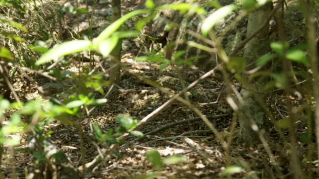 stockvideo's en b-roll-footage met an iguana walking freely - gepunt