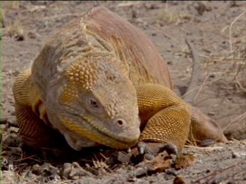 an iguana walks through dry, dusty terrain. - ガラパゴスリクイグアナ点の映像素材/bロール