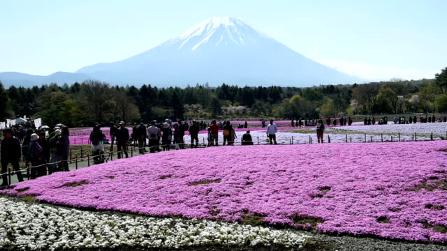 """an immense blooming carpet of """"shibazakura"""" flowers in pink, white and other colors created a vivid foreground to mount fuji on april 30, 2016 in... - white点の映像素材/bロール"""