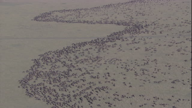 An immense herd of migrating wildebeests spreads out across a savanna in an undulating line. Available in HD.