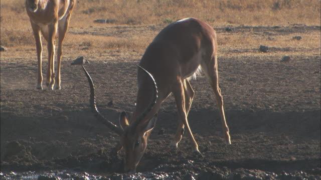 an impala drinks from a watering hole. - wasserloch stock-videos und b-roll-filmmaterial