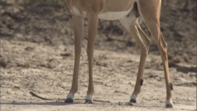 An impala stands on sandy ground. Available in HD.