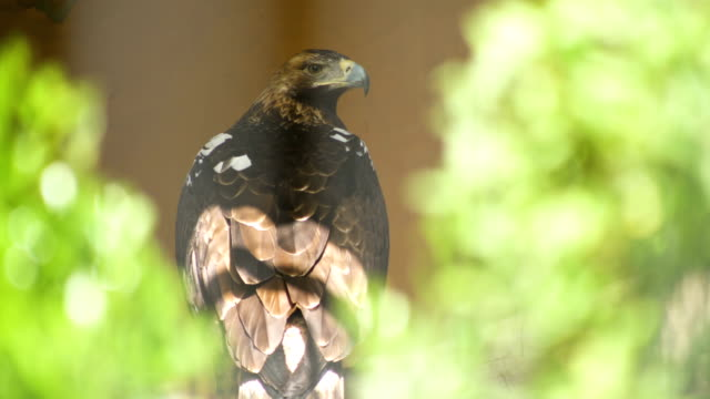 vidéos et rushes de an imperial eagle turning his neck and looking up - aigle