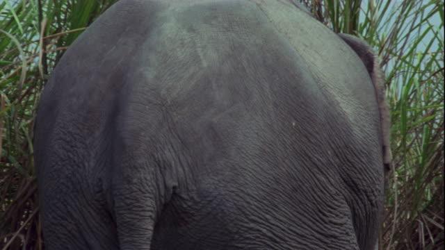 vídeos de stock, filmes e b-roll de an indian elephant enters elephant grass in kaziranga, india. - cauda