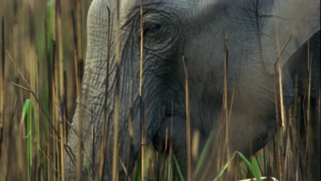 An Indian elephant grazes in long grass.