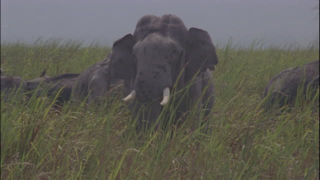An Indian elephant grazes on grassland.