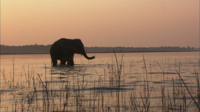 an indian elephant wades through a lake. - camminare nell'acqua video stock e b–roll