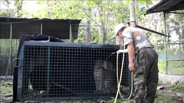 An Indian forestry worker uses a hose to give water to a wild leopard in the Sukna Wildlife rescue centre on the outskirts of Siliguri in northeast...