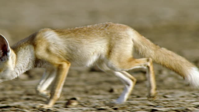 an indian fox cub running - tracking shot - ecosystem stock videos & royalty-free footage