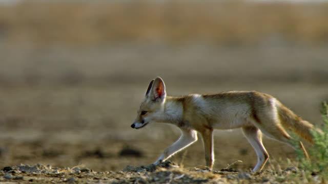 vídeos de stock, filmes e b-roll de an indian fox cub walking across the camera- tracking shot - deserto de kalahari