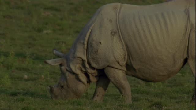 an indian rhinoceros grazes on grassland in kaziranga, india. - rhinoceros stock videos & royalty-free footage