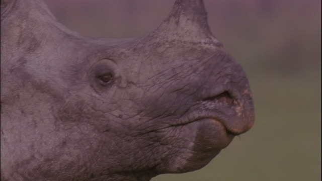 an indian rhinoceros lumbers across the grassland of kaziranga, india. - rhinoceros stock videos & royalty-free footage