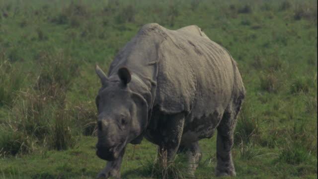 an indian rhinoceros walks on grassland. - rhinoceros stock videos & royalty-free footage
