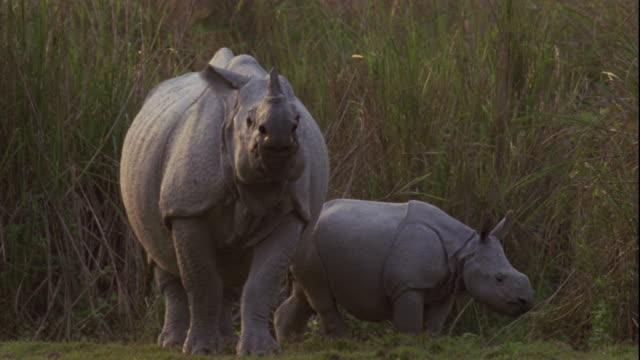 An Indian rhinoceros with her calf wander on the grassland of Kaziranga, India.