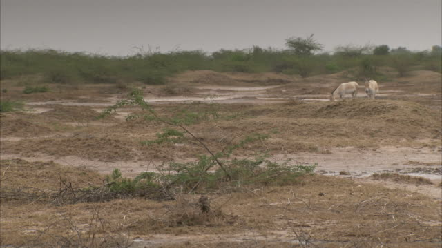 an indian wild ass drops down on the arid ground of a salt marsh. available in hd. - arid stock videos & royalty-free footage