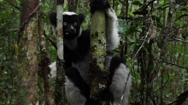 an indri lemur hanging on to a tree whilst eating in madagascar - インドリ点の映像素材/bロール