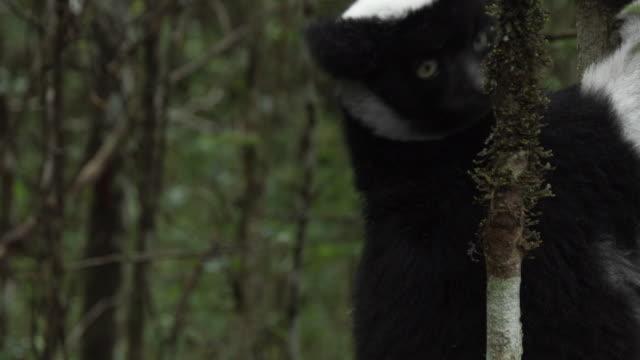 an indri lemur looking around as it hangs on to a tree trunk in madagascar - インドリ点の映像素材/bロール
