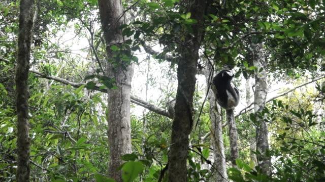 an indri lemur moving through trees in madagascar - インドリ点の映像素材/bロール