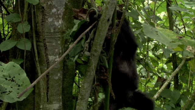 An infant mountain gorilla climbs between tree limbs in a forest. Available in HD.