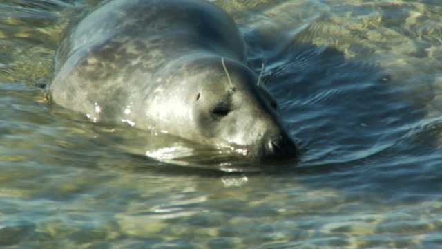 an injured seal wallows in shallow water. - seals stock videos and b-roll footage