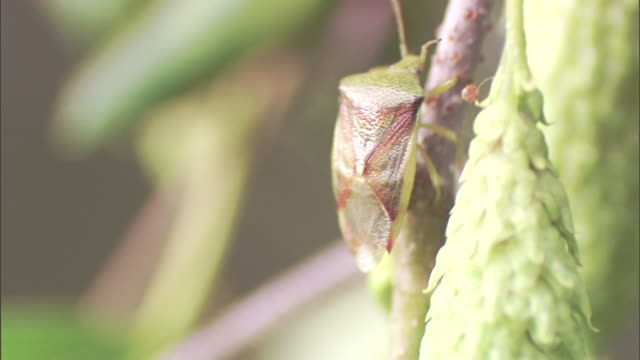 an insect climbs up a twig in a tree. - twig stock videos & royalty-free footage