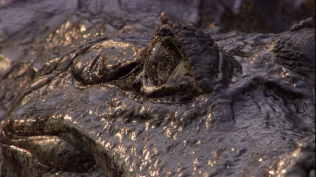 an insect crawls on the wet face of a spectacled caiman. available in hd. - caiman stock videos & royalty-free footage
