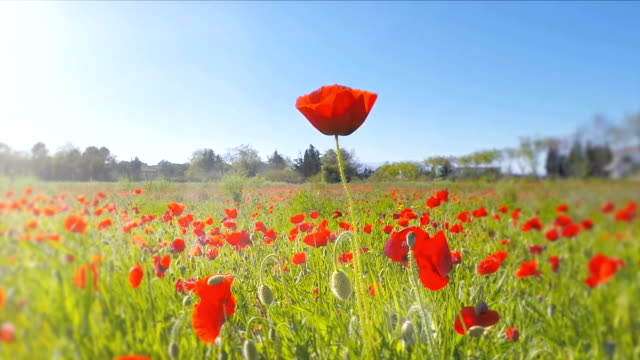 pov of an insect flying over a poppy field - poppy plant stock videos and b-roll footage
