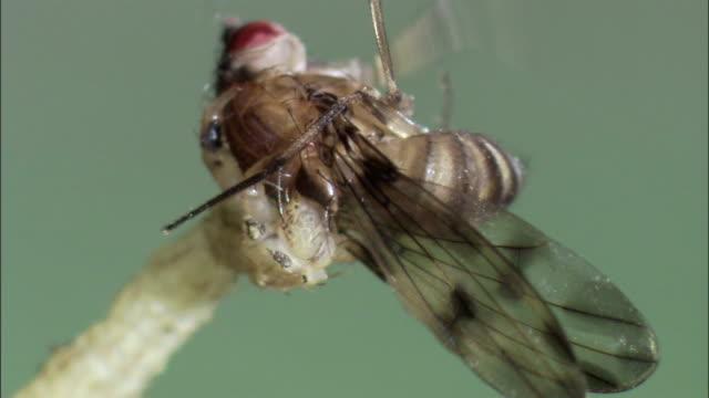 vídeos de stock, filmes e b-roll de an insect struggles as it is devoured by an unusual tropic carnivorous caterpillar. - gastrópode