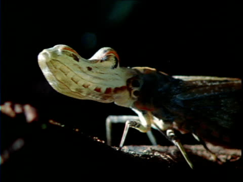 an insect with a large head creeps along a twig. - twig stock videos & royalty-free footage