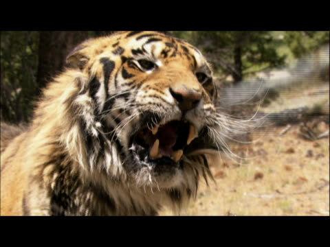 an irate tiger growls and swats angrily at handler's rod. - schiacciamosche video stock e b–roll
