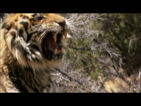 an irate tiger growls and swats angrily at handler's rod. - fly swat stock videos & royalty-free footage