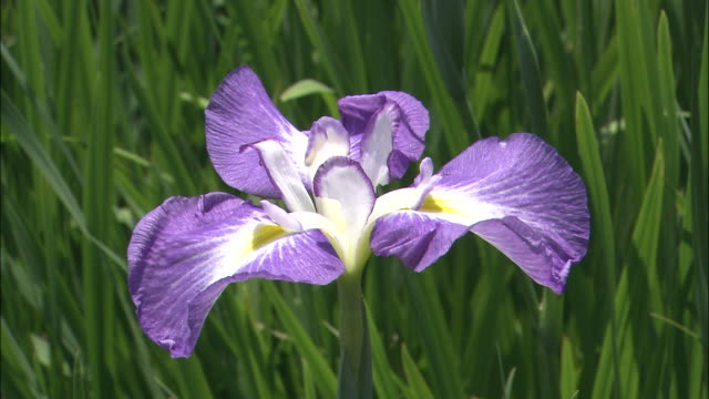 an iris blooms in the sunshine. - iris plant stock videos and b-roll footage