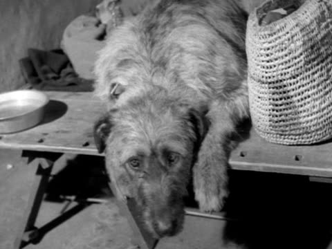 an irish wolfhound sit up in his pen at the crufts dog show - crufts hundezuchtschau stock-videos und b-roll-filmmaterial