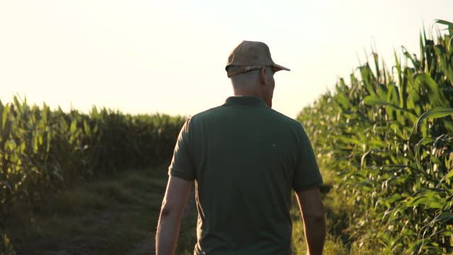 野菜農場でトウモロコシの作物の間を歩いて監視している男。帽子をかぶった農業農家がトウモロコシの収量を分析する。農業ビジネス。 - 農学者点の映像素材/bロール