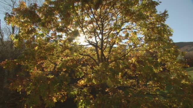 An oak tree with colorful fall foliage grows next to fenced farmland.