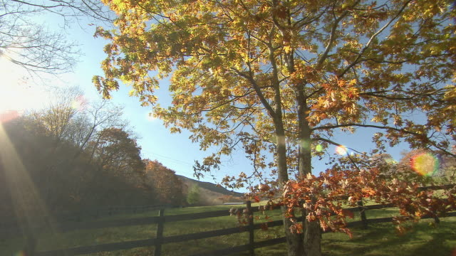 An oak tree with colorful fall leaves grows next to the rail fence of a farm.
