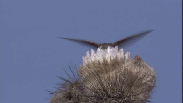vídeos y material grabado en eventos de stock de an oasis hummingbird feeds from cactus flower in the atacama desert, chile. available in hd. - oasis desierto
