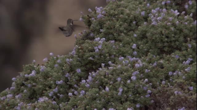 vídeos y material grabado en eventos de stock de an oasis hummingbird feeds from flowers in the atacama desert, chile. available in hd. - oasis desierto