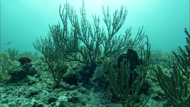 vídeos de stock e filmes b-roll de an ocean current gently sways the branches of aquatic plants along the great barrier reef. - recife fenómeno natural